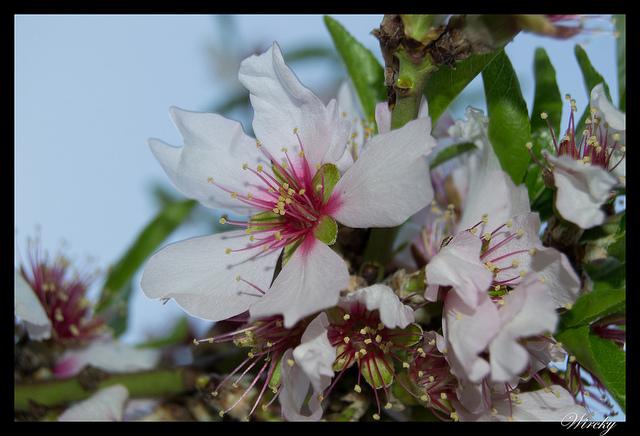 Almendros en flor en España