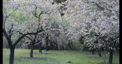Almendros en flor en Parque Quinta de los Molinos
